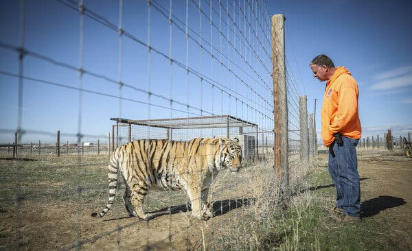 Wild Animal Sanctuary employee Kent Drotar checks in on one of the 39 tigers rescued in 2017 from Joe Exotic's G.W. Exotic Animal Park at the Wild Animal Sanctuary on April 5, 2020 in Keenesburg, Colorado.