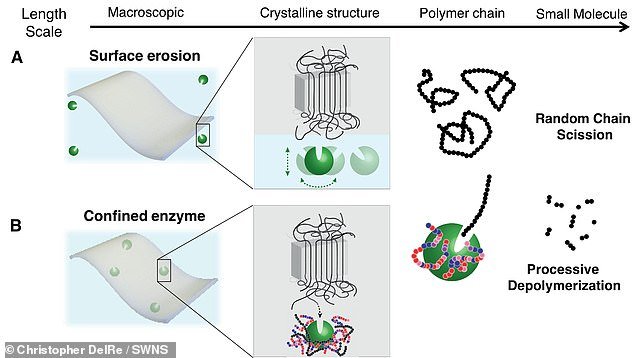To make the biodegradable material, the nanoparticles of wrapped enzymes are embedded in their billions in the resin beads that are the starting point for all plastic manufacturing — much in the same way pigments are used to colour plastic. 'If you have the enzyme only on the surface of the plastic (as depicted top), it would just etch down very slowly,' Professor Xu explained. 'You want it distributed nanoscopically everywhere (bottom) so that each of them just needs to eat away their polymer neighbours, and then the whole material disintegrates'