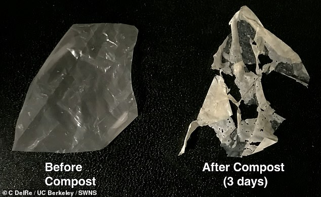 The first truly biodegradable plastics that break down in just a few weeks when exposed to heat and water have been developed by scientists. Pictured: the modified plastic containingpolyester-eating enzymes (left) breaks down in regular compost (right)