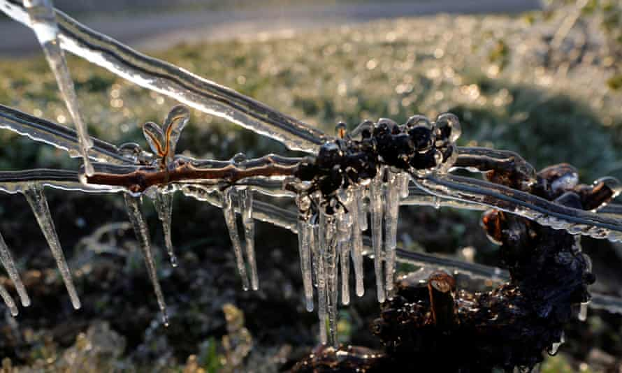 Frost-covered vines in Chablis, France.