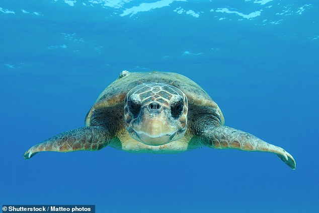 In what experts call their 'lost years', some loggerhead sea turtles (pictured) spend up to two decades migrating from the Japanese beaches of their birth to Baja California (stock image)