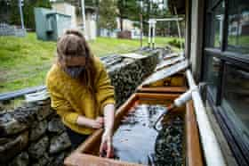 Research assistant Fleur Anteau feeds mussels to adult sunflower sea stars that are the breeding colony at Friday Harbor Laboratories.