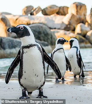 Researchers from Australia's University of New South Wales (UNSW) estimated how many birds there are across 9,700 species, all the way from pigeons to penguins (pictured)