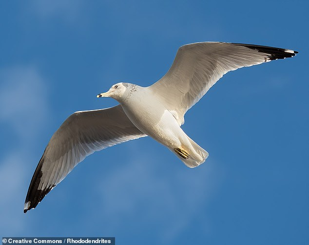 'It was surprising that only a few species dominate the total number of individual birds in the world,' said ecologist Corey Callaghan. Pictured: one of 1.2 billion ring-billed gulls