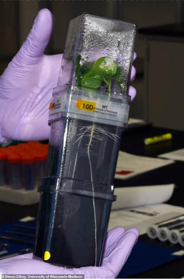 The final experiment in the payload will study cotton, which has a gene that allows it to thrive in droughts and other stressful conditions