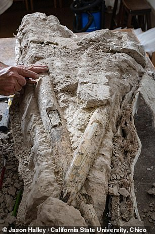 Professor Shapiro and his team reported being particularly surprised to have excavated the skull, teeth and tusks (pictured) of an astonishingly well-preserved mastodon dating back some 10 million years