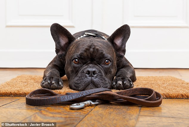 Pricey pooch: A family with a French Bulldog over the age of five pays an average of £1,447 for pet insurance