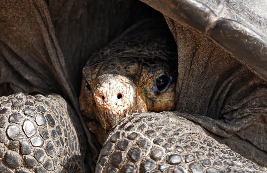A specimen of the giant Galapagos tortoise Chelonoidis phantasticus, thought to have gone extint about a century ago, is seen at the Galapagos National Park on Santa Cruz Island in the Galapagos Archipelago, in the Pacific Ocean 1000 km off the coast of Ecuador, on February 19, 2019. - The adult female was found earlier in the day during an expedition in Fernandina Island, in the Galapagos, Ecuadorean Environment Minister Marcelo Mata announcement on Tuesday. (Photo by Rodrigo BUENDIA / AFP)RODRIGO BUENDIA/AFP/Getty Images
