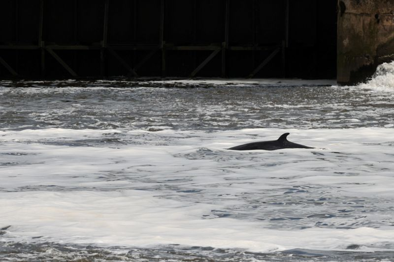 Minke whale calf spotted upstream in London as fears grow for its survival