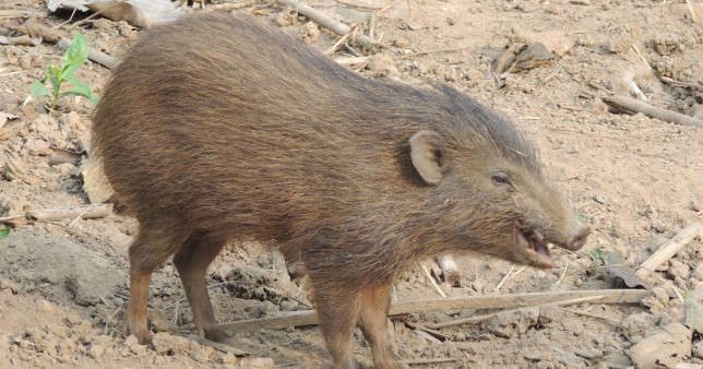 The tiny Pygmy hog measures just 10 inches tall (Wikipedia)