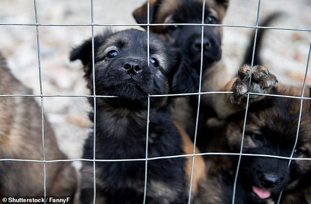 A team from Auburn University at Montgomery found these 'pandemic puppies' are fearful during encounters with other dogs and humans, and sometimes panic when exposed to an unfamiliar environment