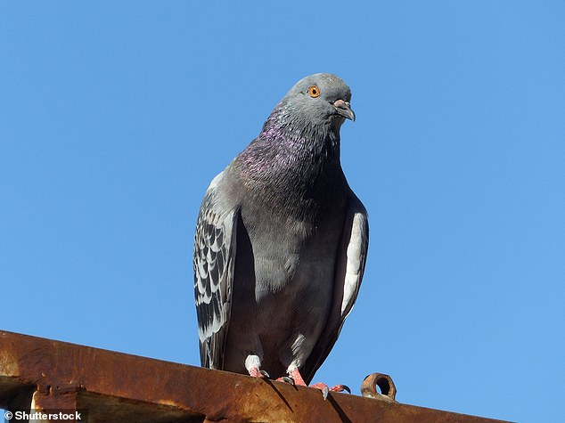 The Royal Holloway University of London study used flocks of homing pigeons -a variety of the domestic pigeon (Columba livia domestica, pictured)