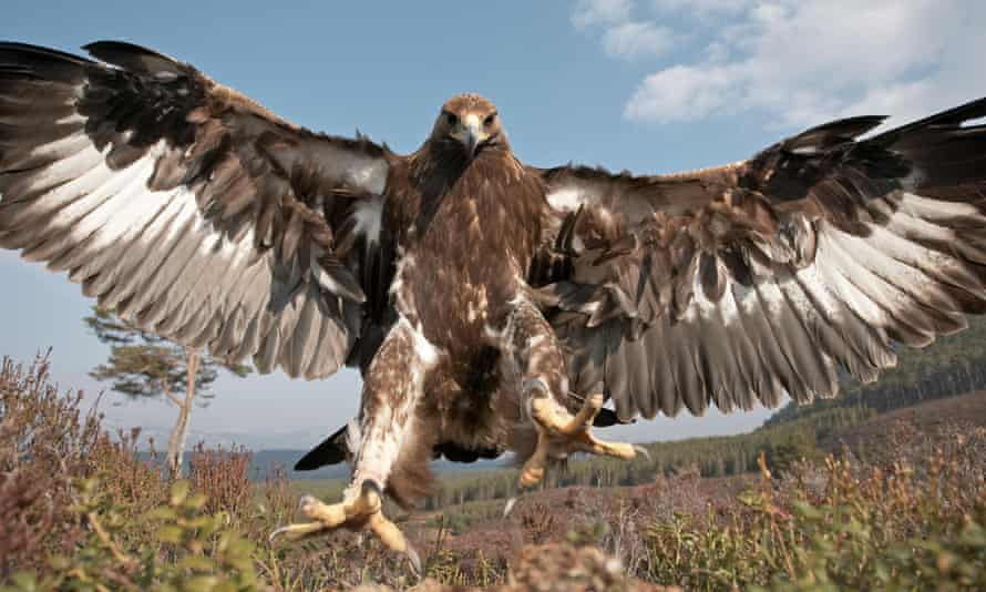 A golden eagle, the most exciting of Scotland's Big Five.
