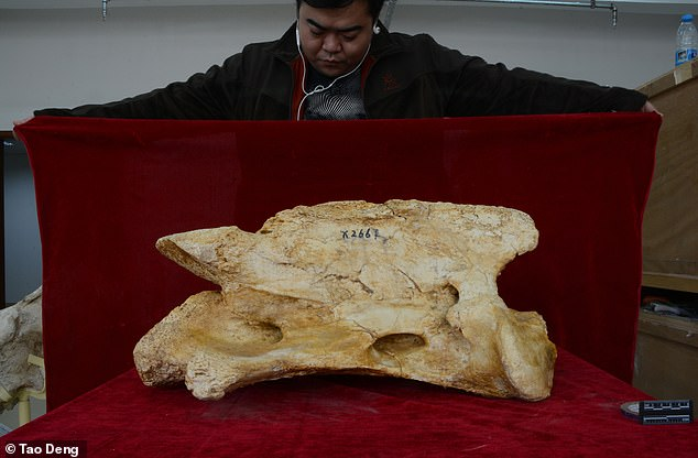 The fossilised remains of this giant beast, whose neck let it reach trees as high as 23ft, were dug up at a prehistoric animal graveyard in Gansu, north western China