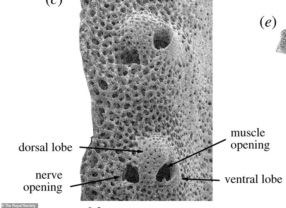 Looking at one of the arms under an electron microscope, the scientists joked its porous lobes (aboev) looked like a 'pig snout'