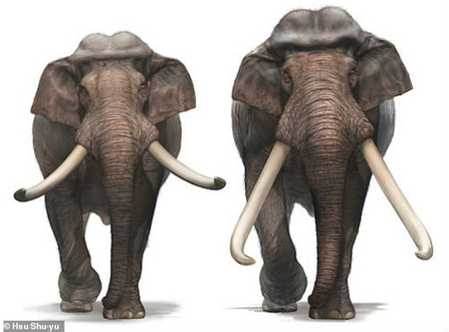 It descended from the straight tusked elephant Palaeoloxodon antiquus (pictured), which, in comparison, had a shoulder height of 12 feet (3.7 metres) and weighed 10 tonnes and originally came from Germany