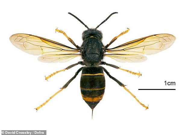 Danger: Asian hornets (pictured) that could decimate native species of honey bee, social wasps and other insects have been spotted on the shores of Britain