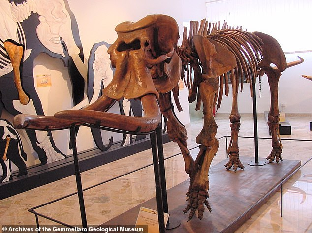 Reconstruction of an almost complete dwarf elephant skeleton at Gemmellaro Geological Museum, Italy. This species is called Palaeoloxodon mnaidriensis. This specimen was found in the same cave as the fragments the researchers used for their study - the Puntali cave