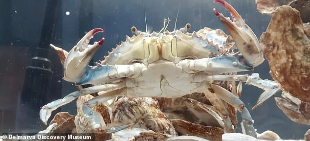 A blue crab withbilateral gynandromorphy, or both male and female characteristics, was recently discovered in Maryland