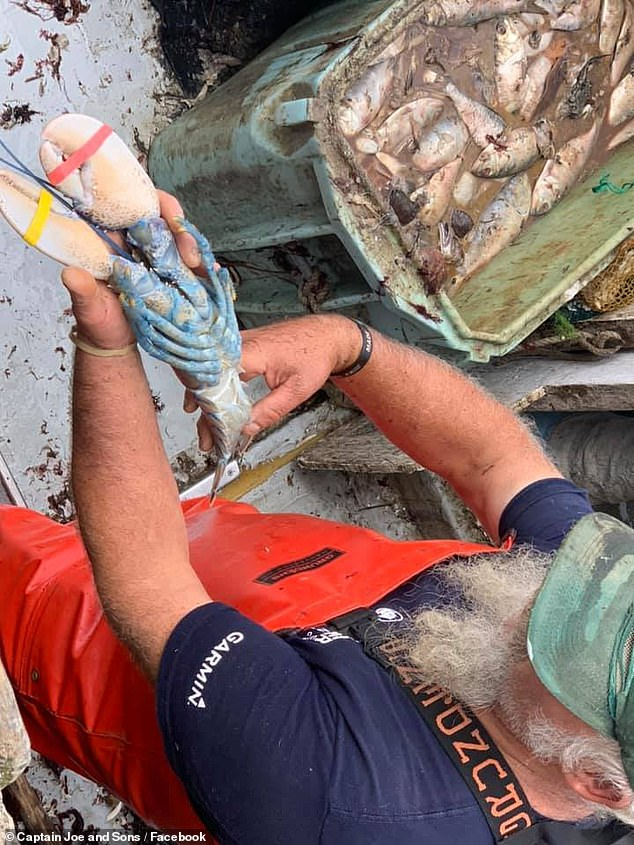 The lobster was taken in the fishermen who got it photographed and then eventually released the lobster back into the sea