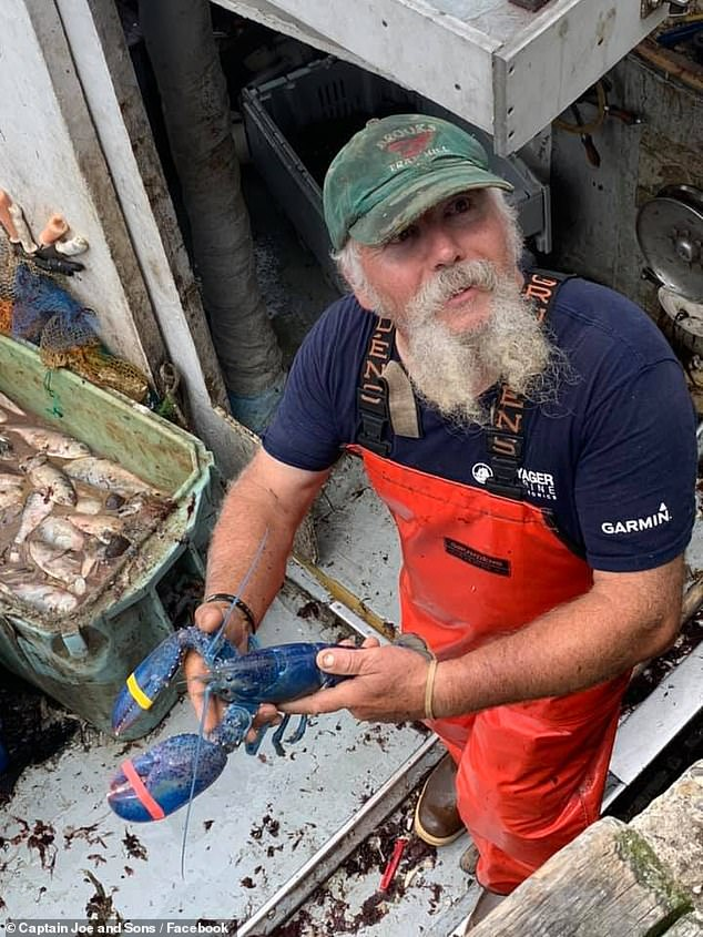 Captain Joe and Sons lobsterman Toby Burnham (pictured) caught the cerulean crustacean on July 16