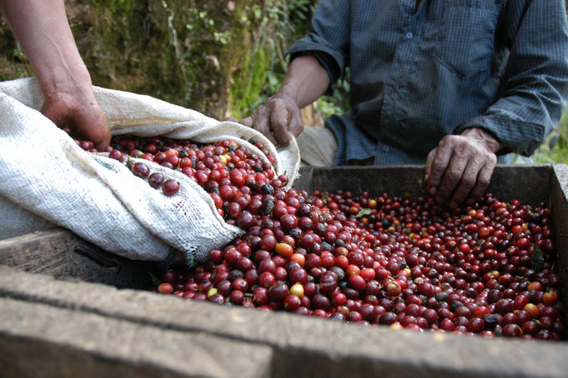 Coffee Surges to 7-Year Highs With More Cold Headed for Brazil