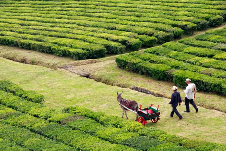 Two men workers and a donkey at Porto Formoso tea gardens. Sao Miguel, Azores islands