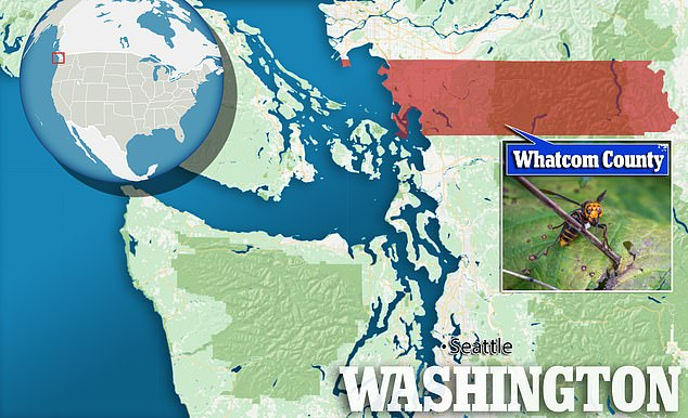 The nest, located near Blaine in Whatcom County along the Canadian border, was eradicated Wednesday