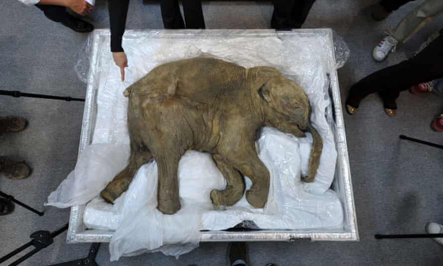 The remains of a well-preserved baby mammoth, named Lyuba, displayed in Hong Kong in 2012.