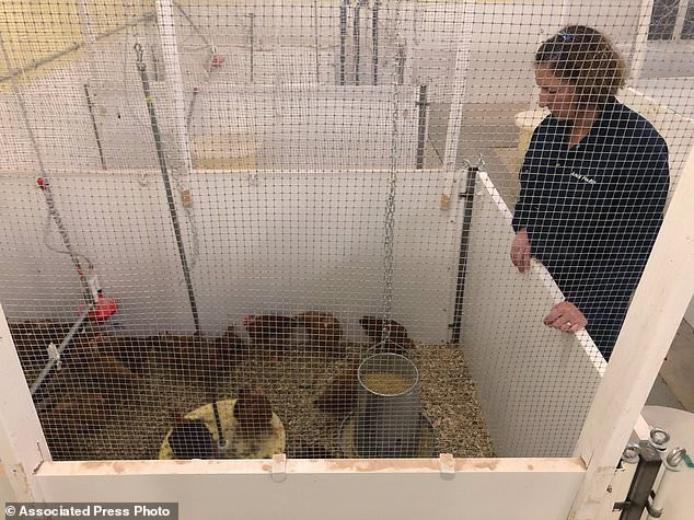 To size up what might make chickens happy in their brief lives, researchers at the University of Guelph in Ontario, Canada, are putting 16 breeds through physical fitness and behavioral tests