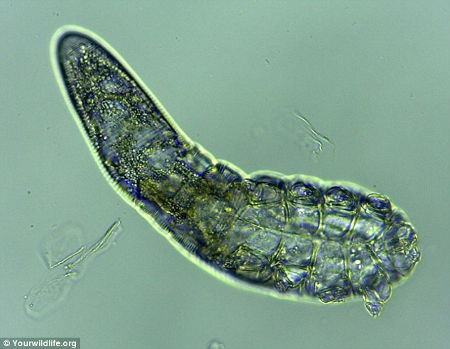 Demodex folliculorum, exist in human ears, eyebrows, and eyelashes as well as hairs that cover nipples and genitals. A recent study found them in the eyelashes of all those tested