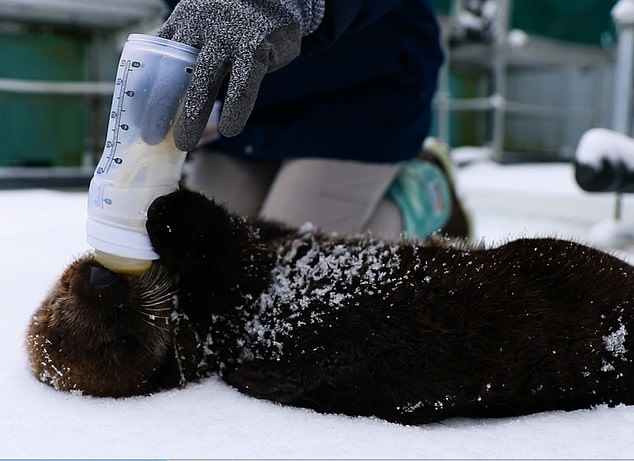 The sea otters are being brought to the UK to ease space pressures on the Alaska Wildlife Centre and as part of an education and conservation programme