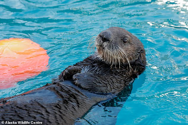 The Sea life Trust is working alongside the Alaska Wildlife Rescue where these otters first came to after being rescued