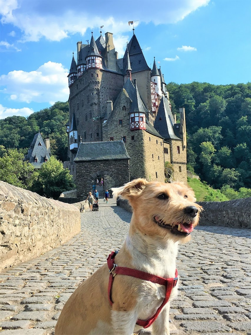 Nine-year-old Jack Russell Falco on a trip to Germany with owner Paul Wojnicki