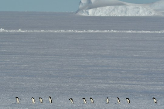 For the penguins, walking across the sea ice is much more difficult than swimming (Credits: PA)