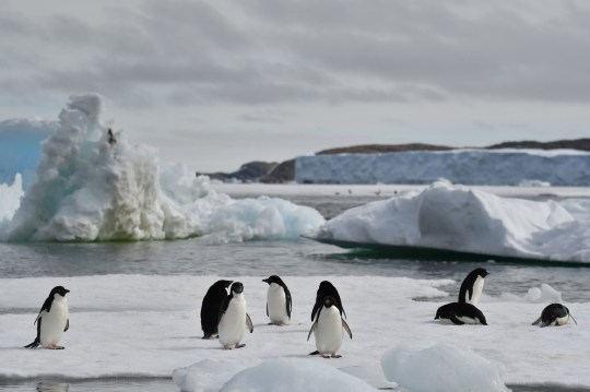 Colonies of Adelie penguins have been found living on islands surrounding Antarctica (Credits: PA)