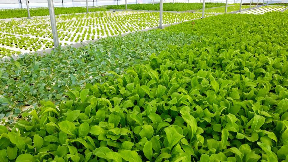 Inside an Alquimi greenhouse