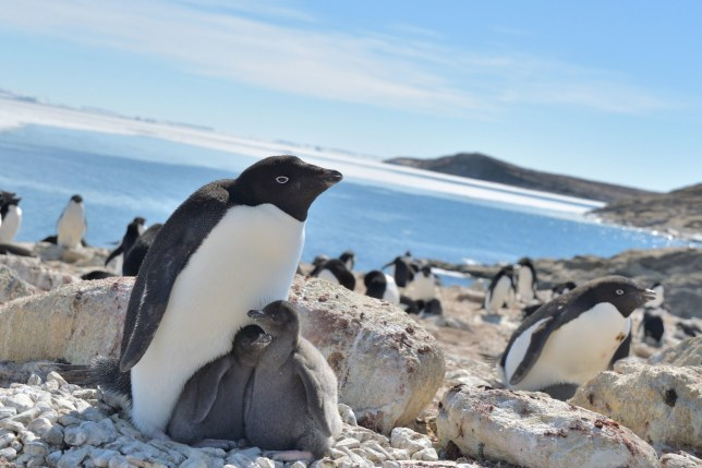Adelie penguins are the most common species of penguin in Antarctica. (Credits: PA)