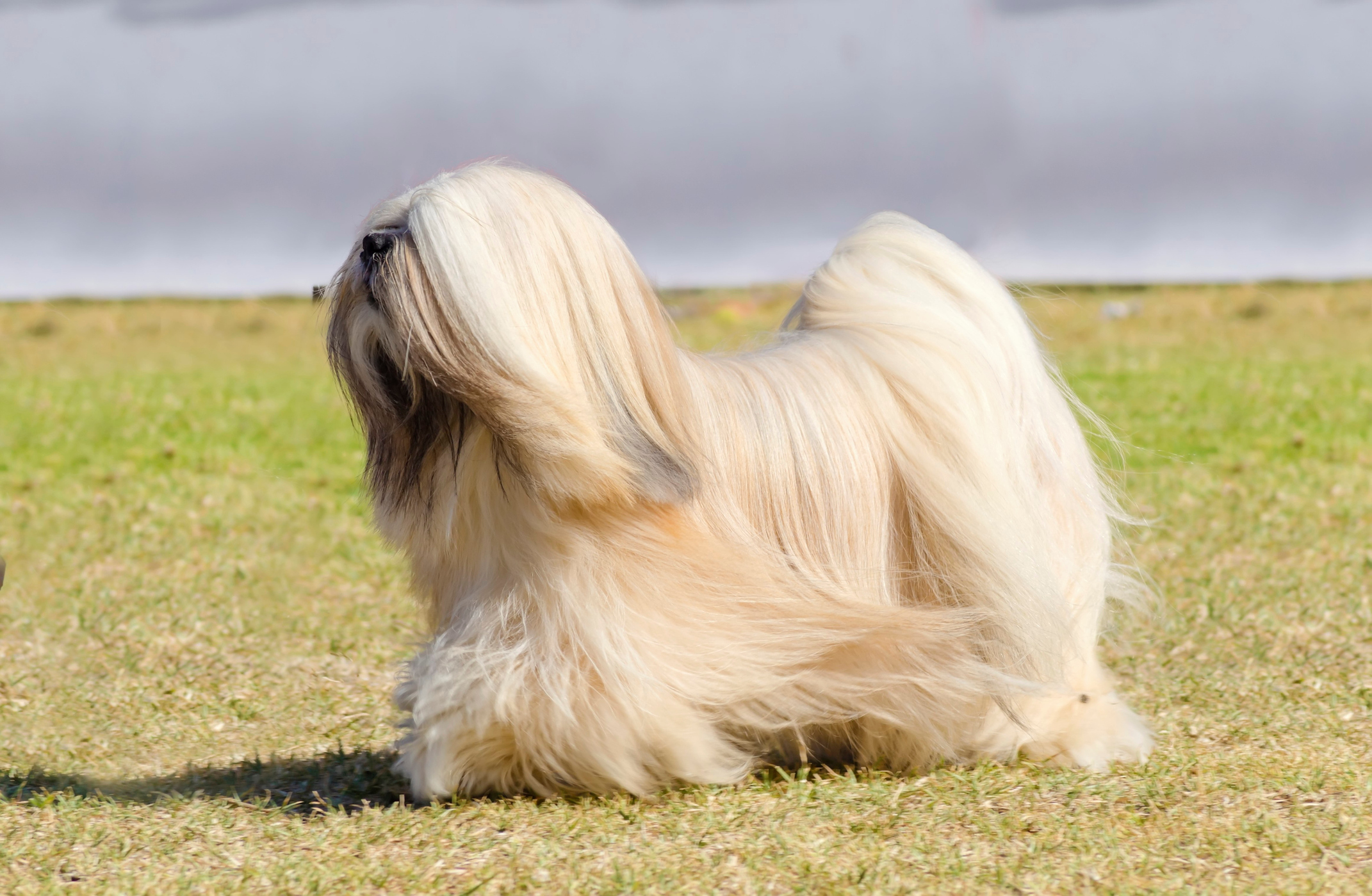 Sean also helps out a Lhasa Apso dog who has been diagnosed with diabetes