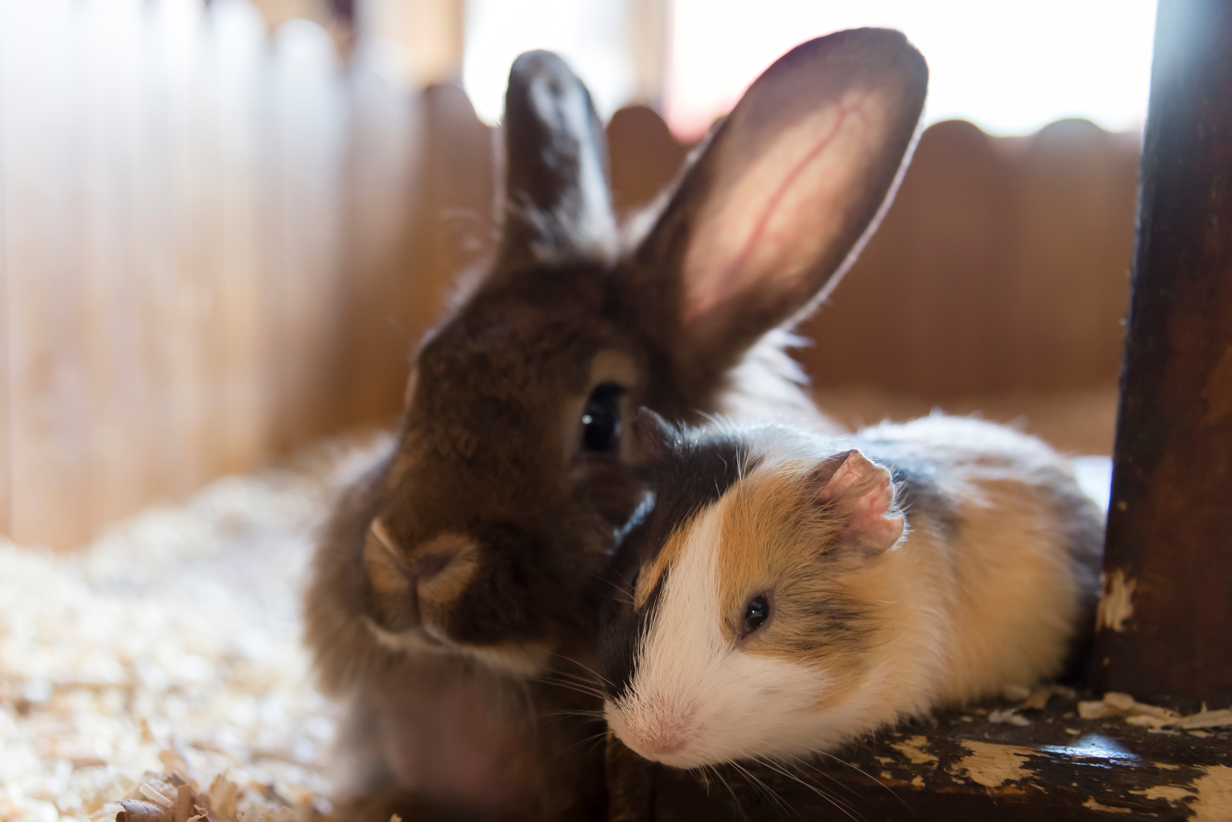 Sharon asks if her rabbit is lonely now that her guinea pig has died