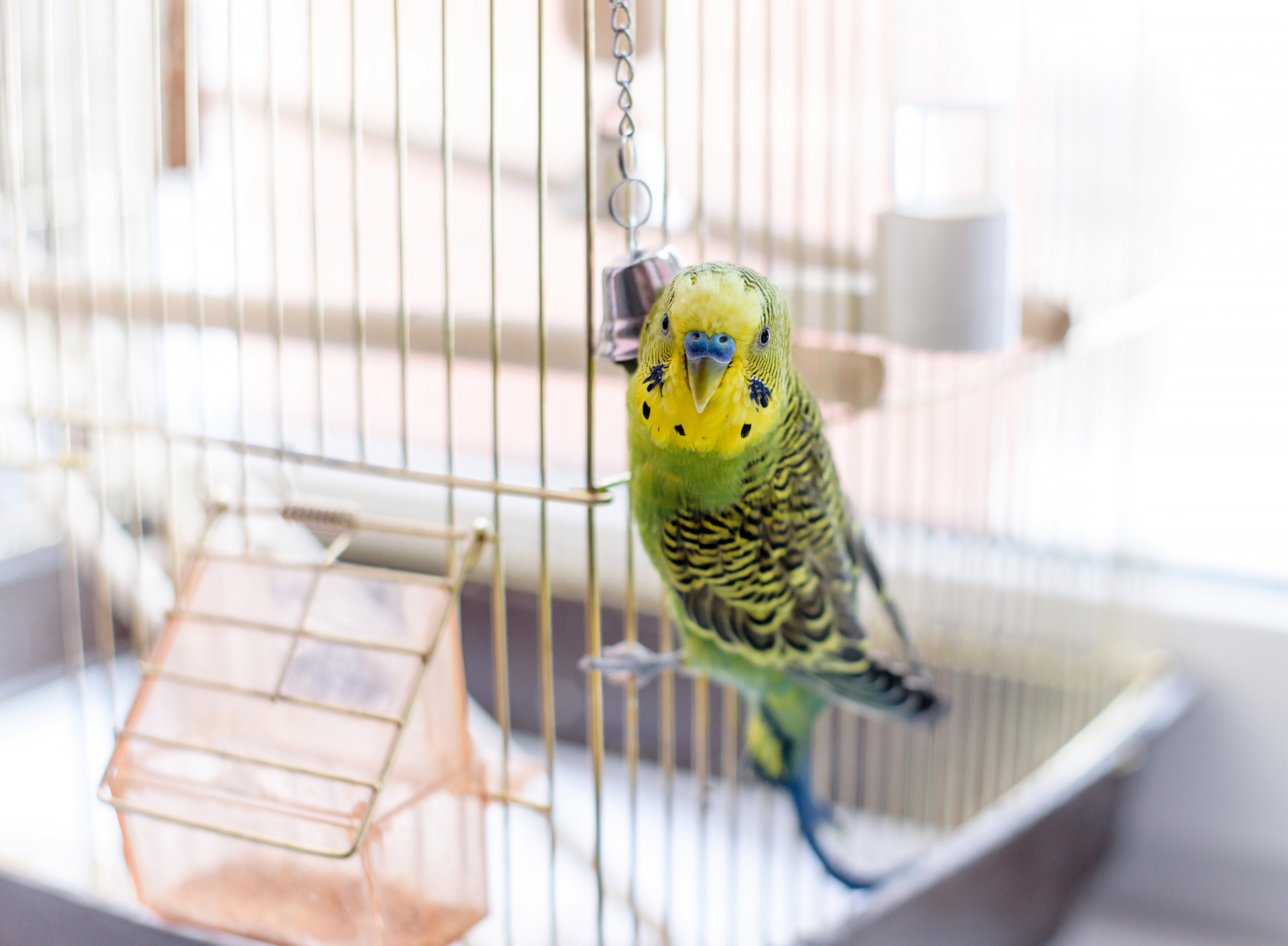 This week, our vet helps a young budgie who hasn't been eating her food