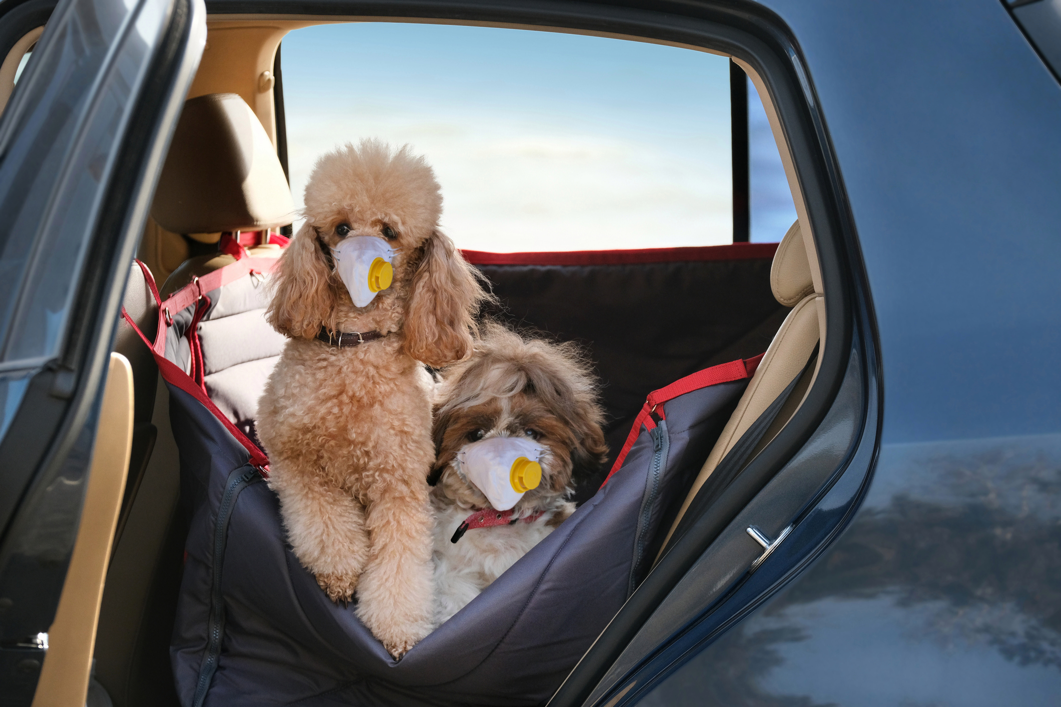 Today pet vet Sean McCormack helps out poodles who won't travel in the car