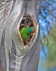 Swift parrot in a tree hollow
