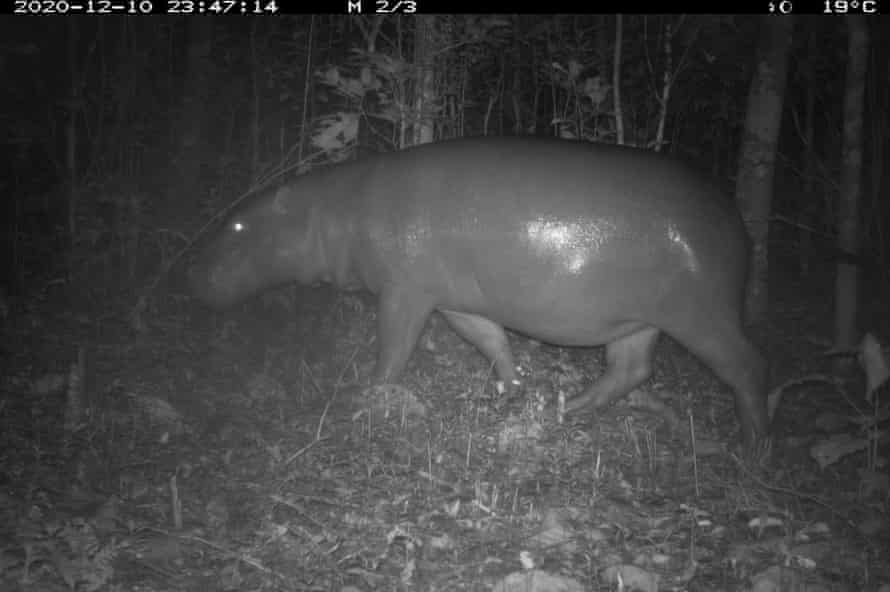 A pygmy hippopotamus in Wonegizi, Liberia.