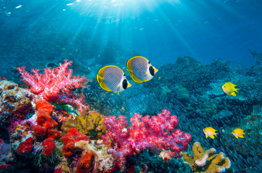 A pair of Panda butterflyfish [Chaetodon adiergastos] and soft corals [Dendronephthya sp.]. Andaman Sea, Thailand.