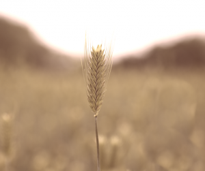 head of barley