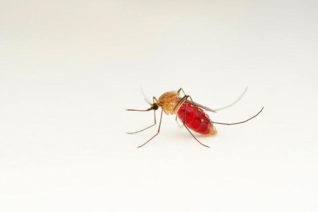 Female Mosquitoe, Anopheles gambiae complex, Satara, Maharashtra, India