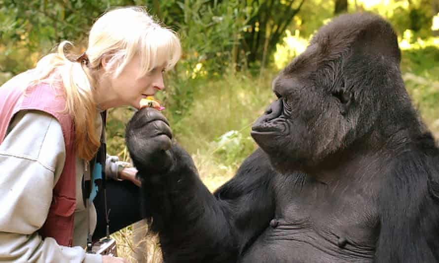 Koko the gorilla and her lifelong teacher and friend Dr Penny Patterson.