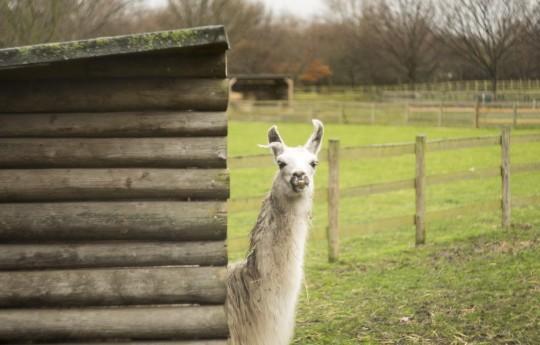 A llama in a field