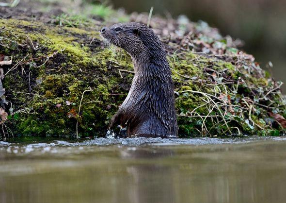 Otter in Norfolk